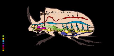 485px-Internal_morphology_of_Coleoptera.svg