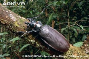 Titan Beetle (largest species of Coleoptera)